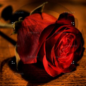 red rose hdr
